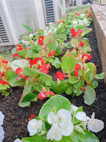 花壇部🌸夏のお花になりました🌸